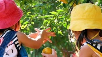Two adorable little girls using pruning shears picking fresh oranges video