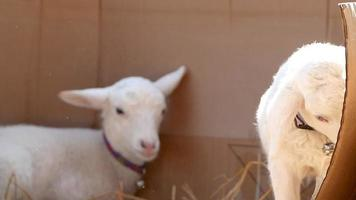 Cute little lambs with straw on the farm.