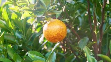 close-up da mão do jardineiro colhendo uma laranja video