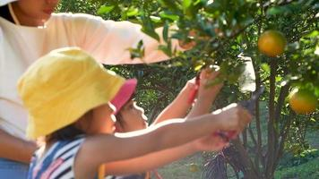 Two little girls picking fresh ripe oranges crop with mother in garden.