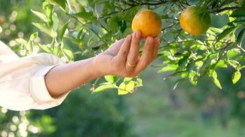 Woman gardener picking oranges with scissors