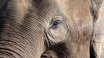 Close up of large Asian elephant eye gazing.