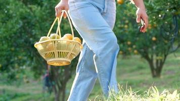 Woman gardener holding scissor and basket of freshly picked oranges video