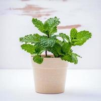 planta en maceta de menta foto