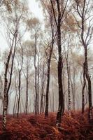 Tall trees in misty or foggy forest