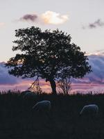Silhouetted sheep grazing next to tree with colorful cloudy sky