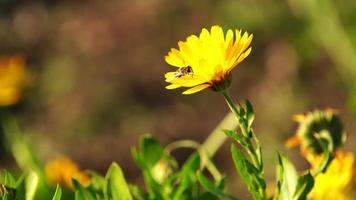 gelber Ringelblumenblumen- und Bienenhintergrund