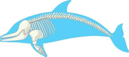 Skeleton anatomy of dolphin isolated on white background vector