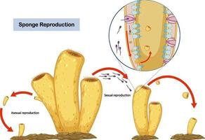 Asexual and Sexual Reproduction of Sponges Diagram vector