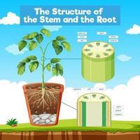 la estructura del tallo y la raíz vector