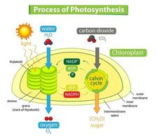 Diagram showing process of photosynthesis in plant vector