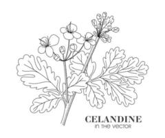 A SKETCH OF CELANDINE ON A WHITE BACKGROUND vector
