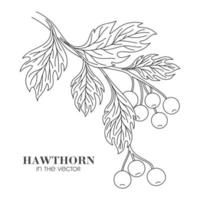 SKETCH OF A HAWTHORN TWIG ON A WHITE BACKGROUND vector