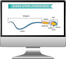 Human sperm diagram on computer screen vector