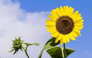 Bright sunflower against a blue sky photo