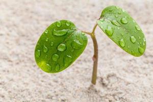 planta de germinación con gotas de rocío foto