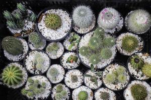 Cactus succulents in plant pots
