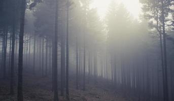 Foggy Polish pine tree forest