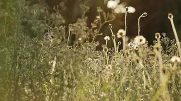 herbe des fleurs sauvages pendant l'heure d'or