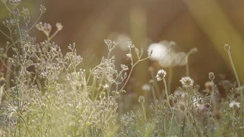 Small Natural Flower Grass Early Morning video
