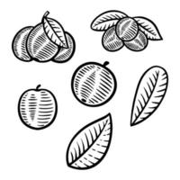 berry fruit vector illustration hand drawn