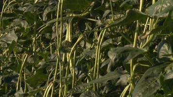 arbusto de feijão verde em portugal