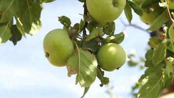 macieira em portugal