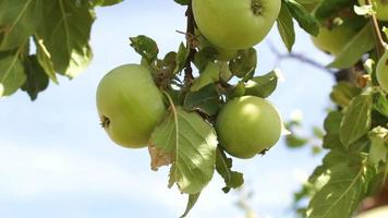 Apple Tree in Portugal