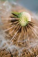 una hermosa flor de diente de león en la temporada de primavera