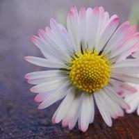 hermosa flor de margarita en el jardín en la temporada de primavera foto