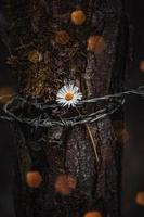 A beautiful daisy flower chained to a tree photo