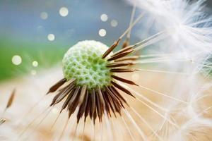 una semilla de flor de diente de león en la temporada de primavera foto