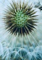 semilla de flor de diente de león en la temporada de primavera