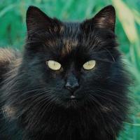 Beautiful black stray cat portrait