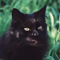 Beautiful black stray cat portrait photo