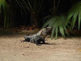 Iguana in the jungle of Mexico