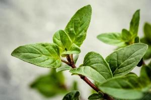 Fresh oregano leaves photo