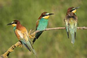 Group of European bee-eaters