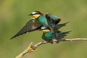 Pair of European bee-eaters