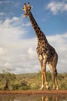 Southern giraffe photographed from low vantage point