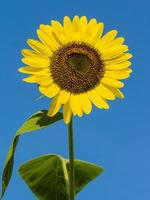 Sunflower against blue sky photo