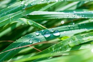 Dew on lemongrass