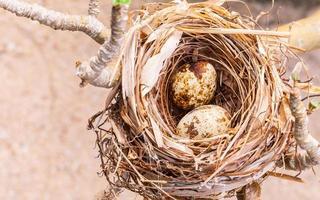 Bird eggs in a nest photo