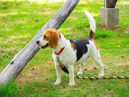 Beautiful beagle dog in a park