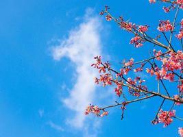 Thai sakura flower on a bright blue sky photo