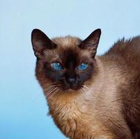 A beautiful Siamese cat portrait photo