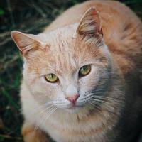 A beautiful brown cat portrait