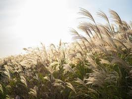Beautiful silver grass or miscanthus sinensis in a Jeju island at Korea autumn
