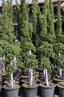 Evergreen trees in pots photo