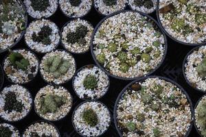 Cacti in pots photo